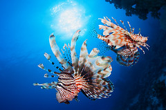 IMG_8063 (Andrey Narchuk) Tags: color coral underwater wildlife redsea egypt lionfish