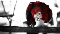 Curiosity (FixOskar) Tags: red blackandwhite black bird nature colors field curious macaw depth catchy redandblack duocromatic