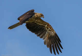 Whistling Kite Haliastur sphenurus