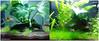 green green grass...of a fish tank :) (Florence Olinares) Tags: fish aquarium aquascape platy neontetra anubiasbarteri flamemoss hydrocotyljaponica eleocharisminima