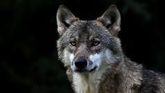 Deep Eyes (Nephentes Phinena ☮) Tags: wolf greywolf eurasianwolf wildparkeekholt grauwolf nikond300s europäischergrauwolf eurasiangreywolf eurasischergrauwolf eruopäischerwolf