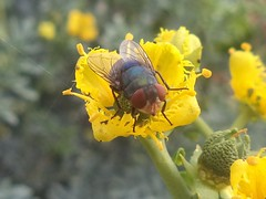 DSC02809 (alfredoeloisa) Tags: animalia arthropoda diptera calliphoridae insecta hexapoda pterygota chrysomyamegacephala neoptera endopterygota brachycera orientallatrinefly chrysomya muscomorpha