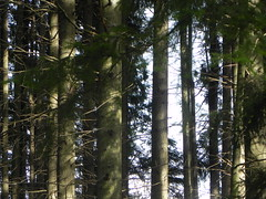 DSCN7500 (Gianluigi Roda / Photographer) Tags: lateautumn trees fir woods