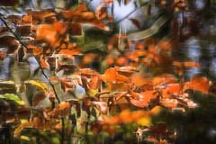 golden winter 2z (duncan!) Tags: leica m262 msoptical 50mm f11 sonnetar beech winter abstract extreme crystalworld