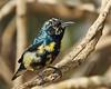Purple Sunbird(Cinnyris asiaticus)_C1_XT023462 (heatonhoward) Tags: sunbird dubai wildlife nature