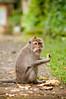 with a spark in his eyes (Sam Scholes) Tags: sangehmonkeyforest badungregency purabukitsari hinduism hindu travel bukitsaritemple bali palaforest sangeh holymonkeyforest vacation indonesia denpasar moneyforest abiansemal id