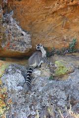 The perch (Chris Denning Photos) Tags: ringtailed lemurs rockface lichens isalo nationalpark madagascar