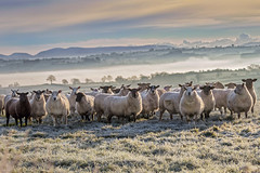 Sub Zero Sheep (Alan10eden) Tags: sheep ewe tup ram flock frost morning early cold winter wool fleece grass outdoors field paddock farm farmer livestock animals canon 80d 70200mm f40is alanhopps countyarmagh ulster glenanne greyface mist fog