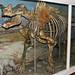 Megacerops robustus (fossil titanothere) (Oligocene; Nebraska, USA) 1