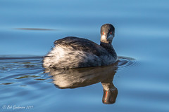 Eared Grebe - the reflected eye (Bob Gunderson) Tags: birds california earedgrebe grebes northerncalifornia podicepsnigricollis santaclaracounty shorelinelake southbay
