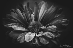 with attitude (skeem125) Tags: waterdrops daisy flowers botanic blackandwhite monochrome nature macro illinois indoorphotography lightpainting stack