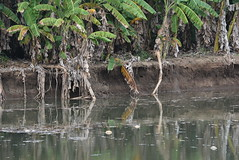 bananas on an eroding bank (cam17) Tags: panama darien emberavillage embera mogue villageofmogue dariengap puntaalegre panamadarien bananatree erodingbank riverbank reflection stillwater