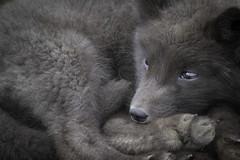 Artic Fox pup - Pribilof Race (www.studebakerstudio.com) Tags: fox mammal stpaul pribilof alaska studebaker nature