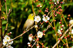 Japanese White-Eye and Plum Blossom : 梅にメジロ (Dakiny) Tags: 2017 winter february japan kanagawa yokohama aoba ichigao outdoor nature field plant tree flower blossom bokeh creature animal bird nikon d7000 tamron 70300mm sp70300mmf456divcusd a005 modela005 nikonclubit japanesewhiteeye whiteeye plum plumblossom apricot japaneseapricot