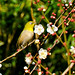 Japanese White-Eye and Plum Blossom : 梅にメジロ