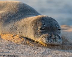 Soaking up the sun!! (Doreen Bequary) Tags: hawaii monkseal sea molokai beach sun mammal animal afs200500mm d500 endangered marinemammal basking