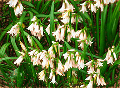 White Bells (Steve Taylor (Photography)) Tags: green brown art digital insect pink white newzealand nz southisland canterbury christchurch hagleypark flora plant flower leaves texture