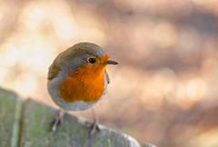 It's been a while! (paulapics2) Tags: bird robin garden nature depthoffield europeanrobin erithacusrubella robinredbreast canoneos5dmarkiii sigma105mmf28exdgos