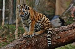 Little Tiger (Hugo von Schreck) Tags: hugovonschreck tiger tier cat katze animal outdoor groskatze canoneos5dsr yourbestoftoday tamronsp150600mmf563divcusda011 givemefive