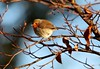 Finding a sunny spot on a cold winters day (jeannie debs) Tags: robin winter sunny day