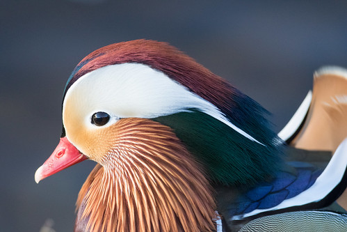 Male Mandarin Portrait
