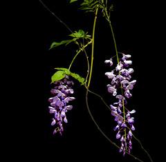 Black Shadow. (Omygodtom) Tags: purple green outdoors honeysuckle nature nikon nikkor flower flickr shadow shade tamron90mm tamron natural dof d7100 di
