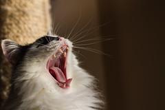 Yawning (Reietto) Tags: canoneos7d canonef50f18stm 2017 bw black blackwhite canon cats cristiancarbini17 gatti macchia white cat gatto pet yawning