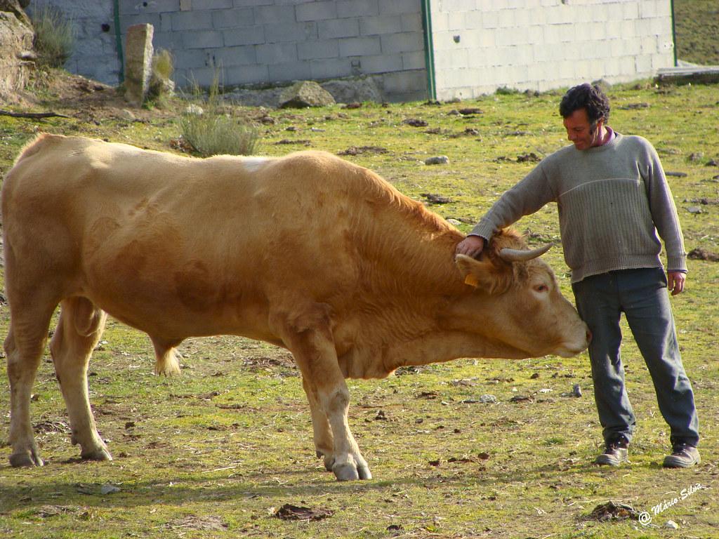 Águas Frias (Chaves) - ...  amizade entre o touro e a dono (Venâncio) ...