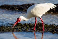 P7D_4427.jpg (gmhedden) Tags: birds keywest beach fight laughinggull feeding whiteibis