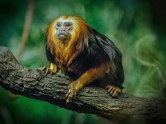 DSC_5207 t p fs (Photos by Kathy) Tags: cincinnatizoo zoo zoos animals wildanimals primate presimian tamarins goldenliontamarin