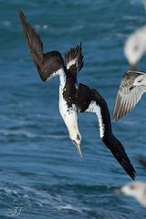 Fou de bassan (Tifaeris) Tags: foudebassan morusbassanus northerngannet pélécaniformes sulidés bird oiseau