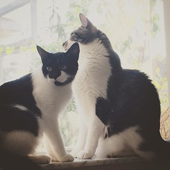 Frankie and Riley in Window (awdylanis) Tags: cute window cat square riley kitten sweet adorable kitty squareformat ten meow kiki reyes snuggles snuggling ryry catsinwindow fankie iphoneography instagramapp uploaded:by=instagram