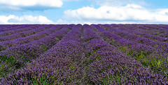 2015-08-16 - Hitchin Lavender Farm - 0002.jpg (Allan Turpie) Tags: flowers summer england plants plant flower season europe colours seasons purple unitedkingdom lavender summertime adjectives hertfordshire dogdays ickleford summertide sunnyseason propernouns hichinlavenderfarm