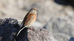 Linotte mlodieuse, Am, n (Der, 2014-05-29) (th_franc) Tags: oiseau linottemlodieuse