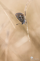 macro-Blog-4495 (photosenvrac) Tags: macro nature bokeh papillon insecte beaugency sigma150 natura2000 thierryduchamp