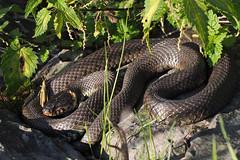 Ringslang   Grass Snake (**AB**) Tags: grasssnake natrixnatrix ringslang