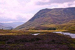 Sunlight and shade. (artanglerPD) Tags: sunlight mountains river three purple sheep glenshee heather hills shade clunie braemarzoom