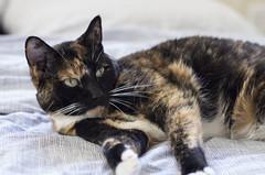 Lola (BlindLuckPhoto) Tags: cat smca50mmf17 pentaxk5 pentaxk5silver