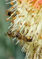 Bees (stuartbravery22) Tags: cambridge sun flower nature sunshine yellow insect nikon bee d3200
