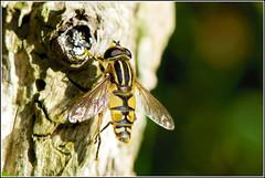 Zweefvlieg (pietplaat) Tags: macro insecten meijendel zweefvlieg pietplaat