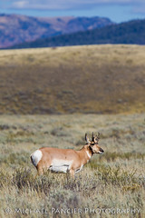 Pronghorn in the Tetons (Michael Pancier Photography) Tags: nature us unitedstates wildlife jackson wyoming nationalparks americathebeautiful jacksonhole fineartphotography naturephotography grandtetonnationalpark pronghorns americansouthwest travelphotography commercialphotography naturephotographer antilocapraamericana editorialphotography michaelpancier michaelpancierphotography landscapephotographer fineartphotographer nationalparkphotography michaelapancier americasnationalparks wwwmichaelpancierphotographycom fallinthenationalparks