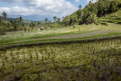 TheBeauty of Asia (mripp) Tags: world bali food green landscape essen asia asien rice reis hunger feed agriculture landschaft crisis staple tabanan