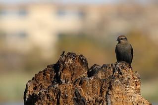 Rusty Blackbird by Russ Allison