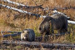 Raspberry and Snow (Happy Photographer) Tags: bear baby snow wildlife yellowstonenationalpark raspberry grizzly ynp amyhudechek nikon200500f56