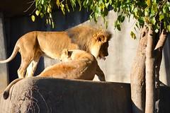 DSC_1233 (gobucks2) Tags: cats zoo lions tongues wildanimals 2015 louisvillezoo november2015 louisvillekentuckyzoo fall2015