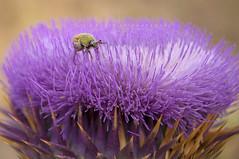 violet flower (naser.shirmohamadi) Tags: flower nature violet insects thorn naser   shirmohamadi