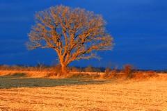 bur oak tree near Lake Meyer Park IA 854A5241 (lreis_naturalist) Tags: park county sunset lake tree oak bur reis iowa larry meyer winneshiek