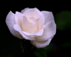 Imagine... (KsCattails) Tags: white flower nature water rose blackbackground nikon peace outdoor bloom kansas imagine droplet raindrop sympathy overlandparkarboretum d7000 kscattails