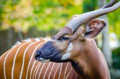 Bongo (Mathias Appel) Tags: africa park portrait animal animals germany deutschland zoo tiere nikon bokeh bongo horns german antelope afrika tierpark antilope tier deutsch hrner tragelaphus eurycerus