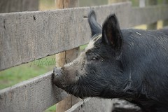 I Wonder... (TheCozyEscape) Tags: look fence wonder pig eyes farm think country ears dirty want observe ponder hog muddy snout yearn
